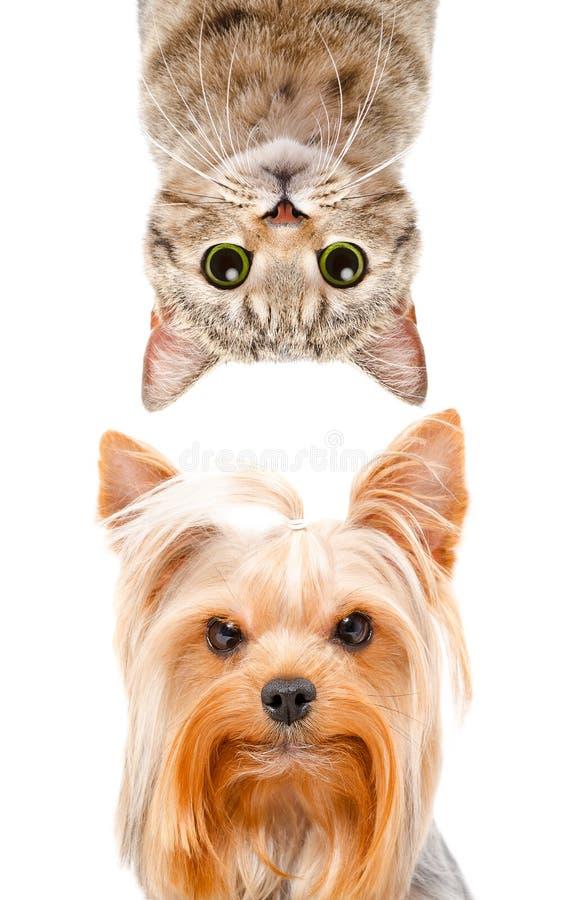 Rolig stående av en raksträcka för skotte för Yorkshire terrier och katt arkivbilder