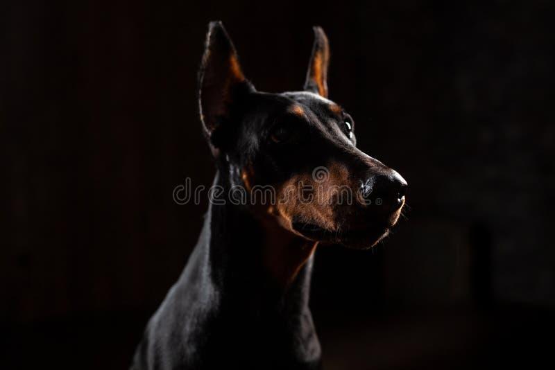 Rolig stående för närbild av Dobermanhunden med stor nässtirrande in camera in camera på isolerad svart bakgrund royaltyfri bild