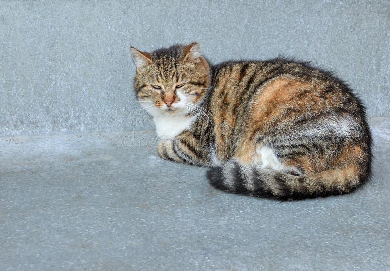 Rolig tillfällig ung katt som lägger på grå bakgrund Fluffig strimmig kattkatt som ligger och ser kameran tätt övre för katt royaltyfri fotografi