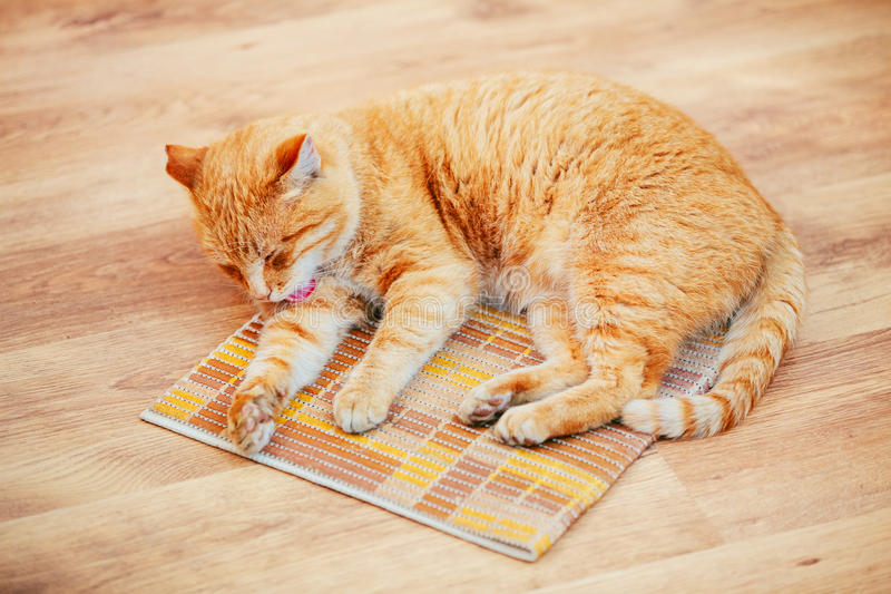 Roliga älskvärda röda Cat Kitten Lick Washes Itself hemma royaltyfri bild