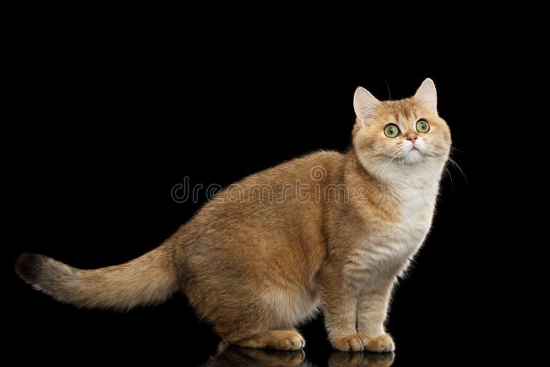 Roliga brittiska Cat Gold Chinchilla Standing och nyfikna blickar, isolerad svart royaltyfri fotografi