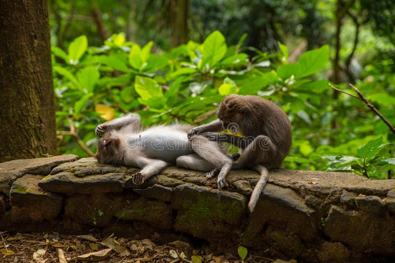 Roliga macaqueapor i Apa-skogen royaltyfria bilder