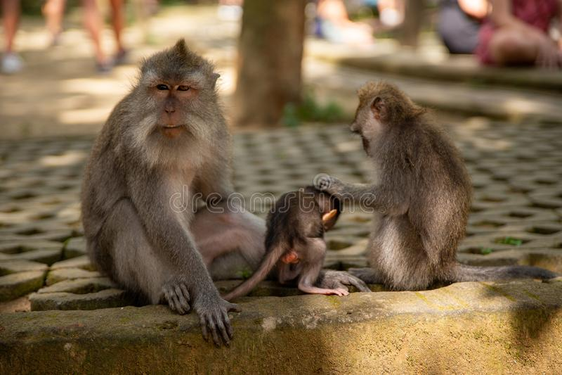 Roliga macaqueapor i Apa-skogen royaltyfri bild