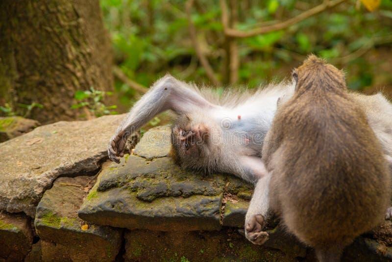 Roliga macaqueapor i Apa-skogen arkivfoto