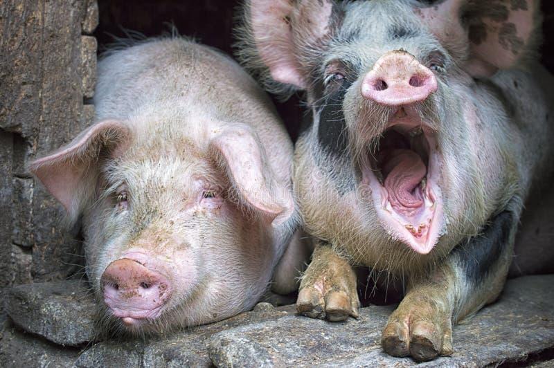 Roliga rosa svin i stallen arkivfoto