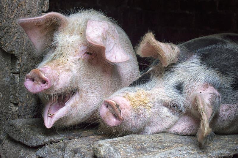 Roliga rosa svin i stallen arkivbild