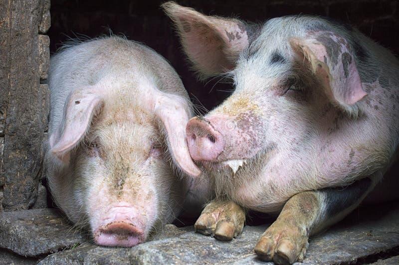 Roliga rosa svin i stallen arkivbilder