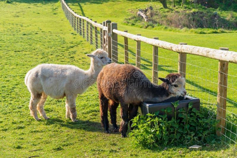 Roliga seende alpacas på lantgården royaltyfria bilder