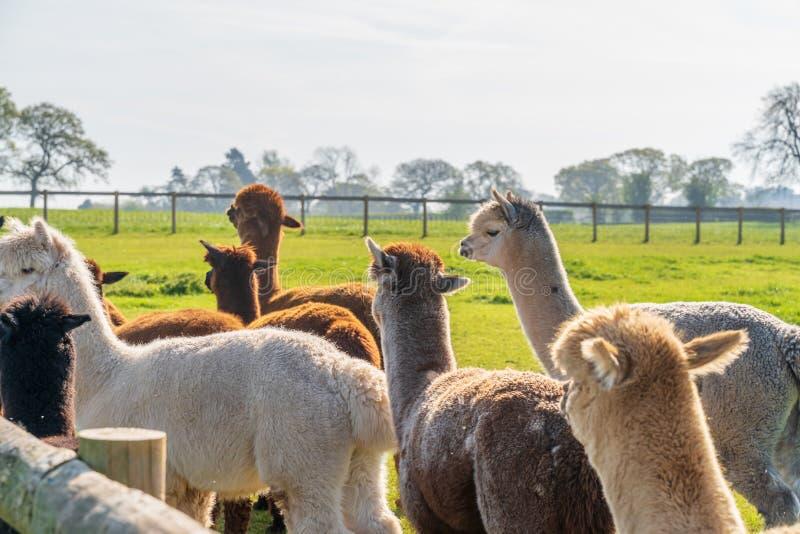 Roliga seende alpacas på lantgården fotografering för bildbyråer