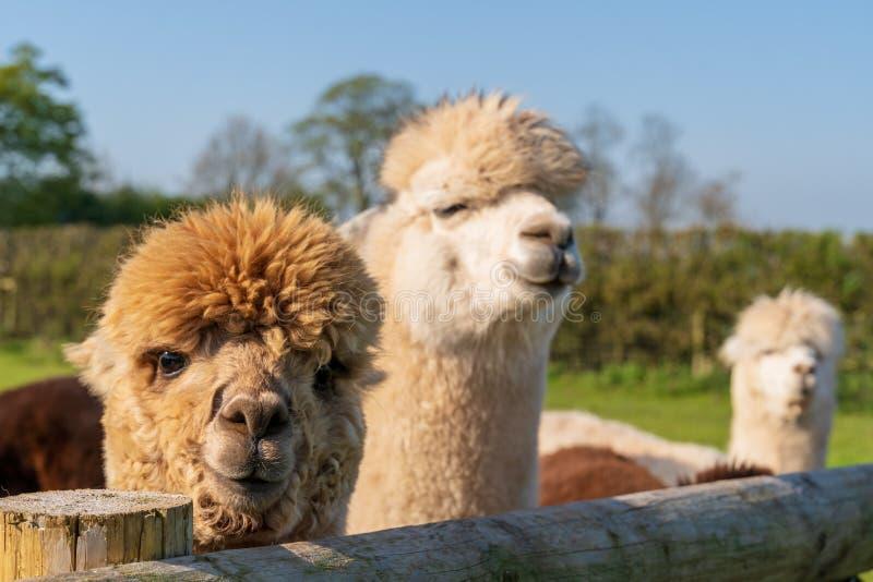Roliga seende vita alpacas på lantgården royaltyfria foton