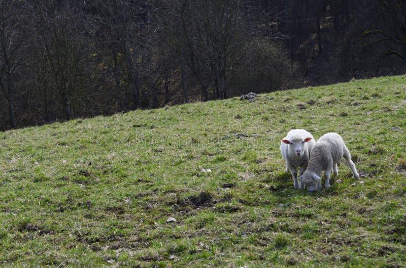 roliga sheeps fotografering för bildbyråer