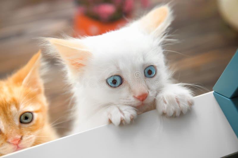 Roliga små kattungar inomhus, closeup fotografering för bildbyråer