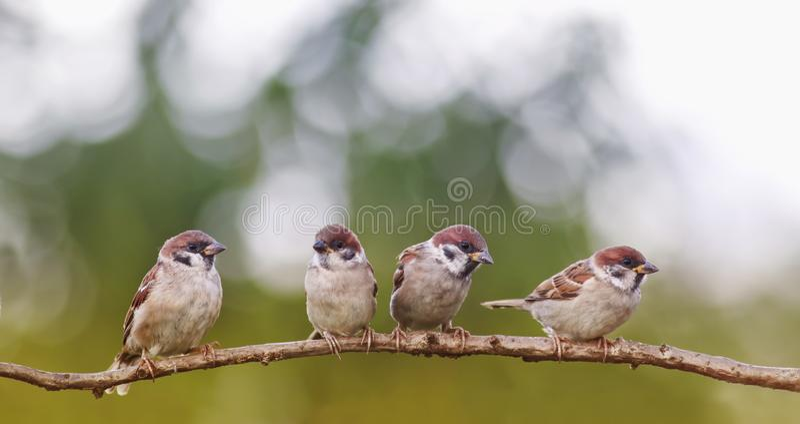 Roliga små sparvfåglar sitter i en grupp i en vår S royaltyfri bild