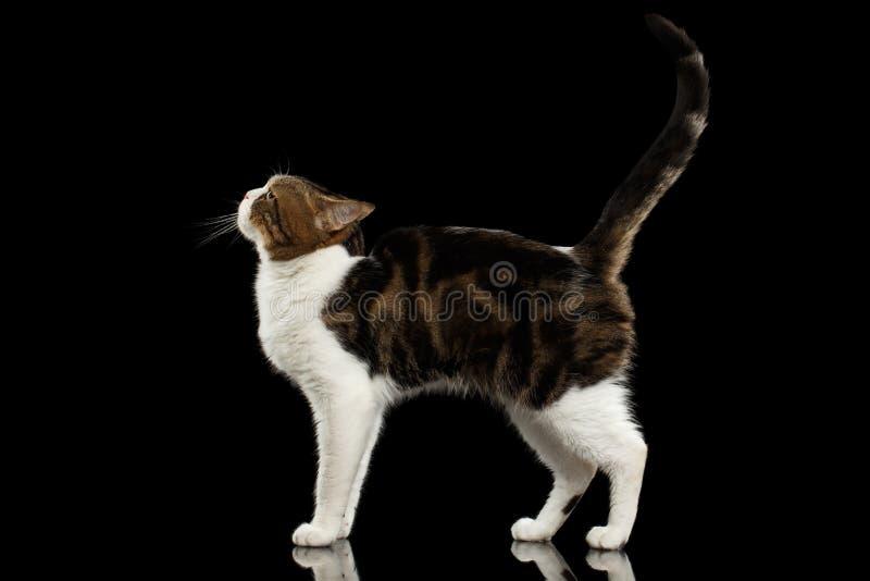 Roliga vita skotska raka Cat Standing i svart bakgrund arkivfoton