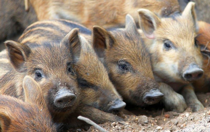 Roligt behandla som ett barn svin som är centrala - den europeiska vildsvinet arkivfoton