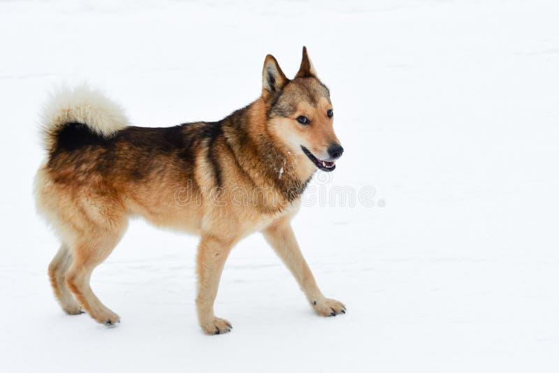 Roligt fluffigt hundanseende på vit snö royaltyfria bilder