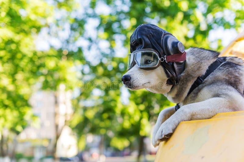 Roligt foto av huskieshunden i en pilot- hjälm för ` s fotografering för bildbyråer