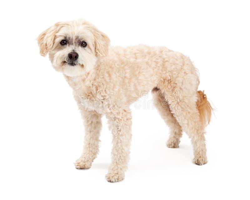 Roligt maltesisk och för pudelblandninghund anseende royaltyfria bilder