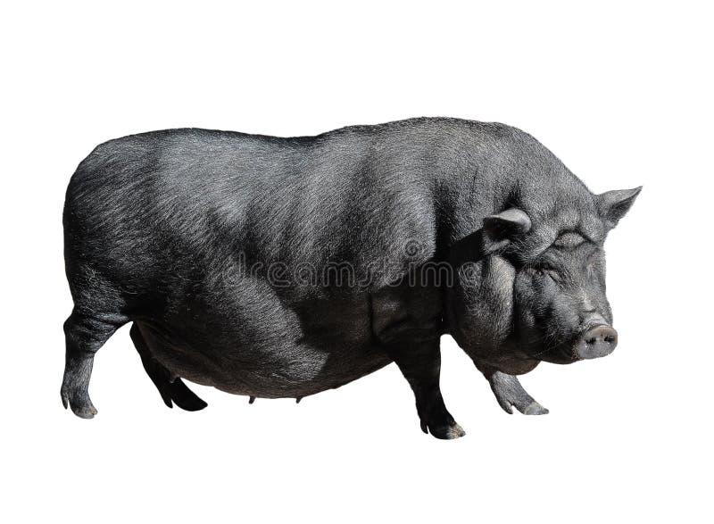 Roligt prickigt svart vietnamesiskt svin som isoleras på vit Kruka-buktad full längd för ungt kvinnligt svin som isoleras på vit  royaltyfria foton