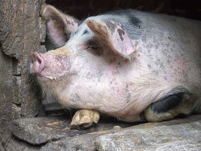 Roligt rosa svin i stallen arkivfoton