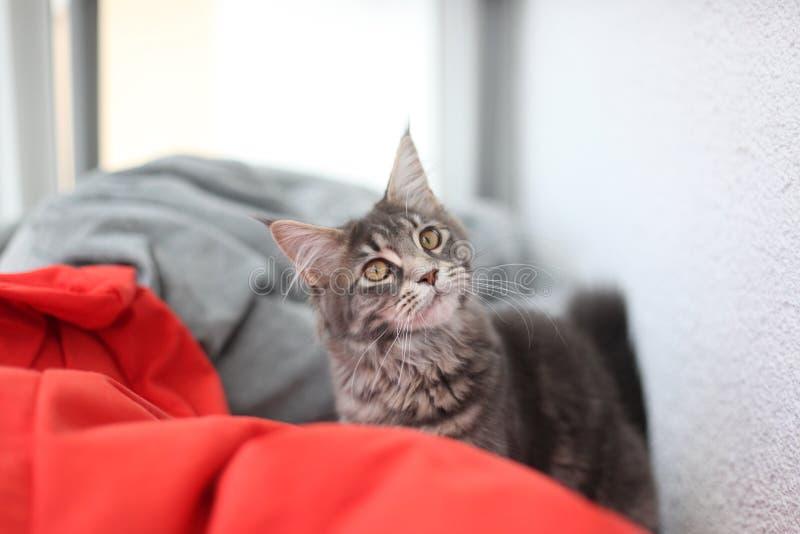 Roligt sammanträde för blå katt för Maine tvättbjörn på en röd soffa arkivfoton