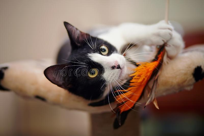 Roligt svartvitt spela för katt arkivfoto