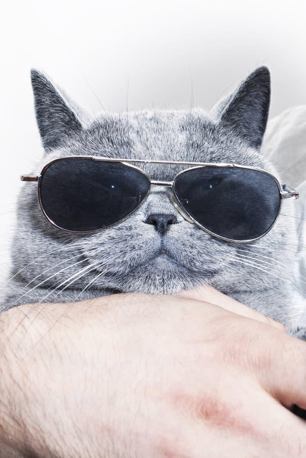 Roligt tysta ned av grå brittisk katt i solglasögon royaltyfri foto