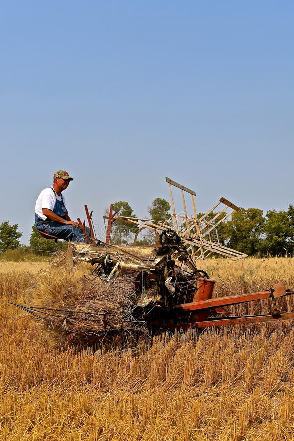 Operating an old vintage grain binder. ROLLAG, MINNESOTA, Sept 2, 2017: Unidentified operator of a grain binder participates in a field demonstrating at the stock images