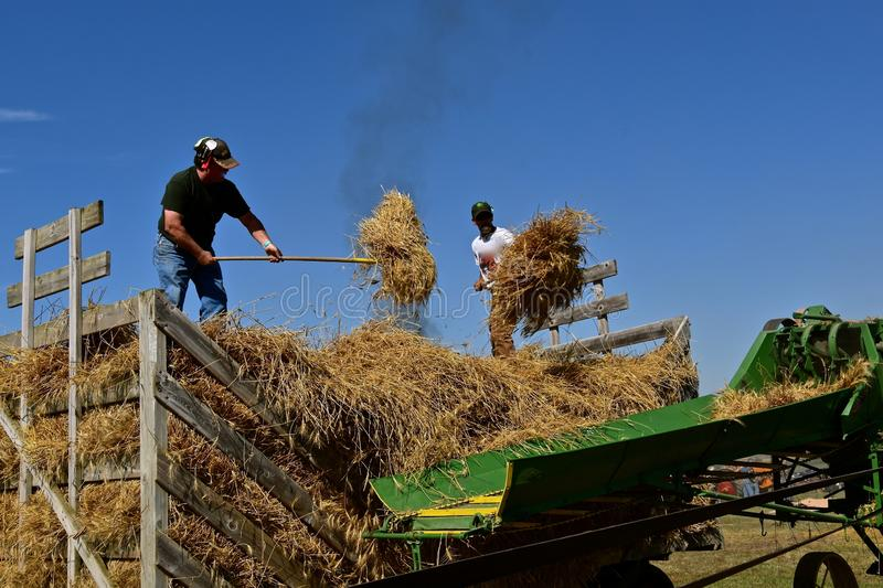 Pitching bundles during threshing the wheat. ROLLAG, MINNESOTA, September 2 ,2018: Unidentified volunteers pitch bundles into the threshing feeder at the annual royalty free stock images