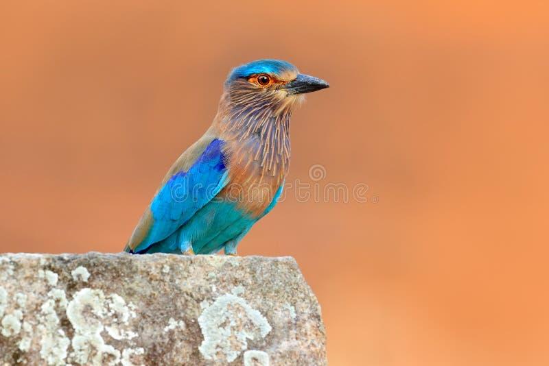 Rolle von Sri Lanka, Asien Netter Farbhellblauer Vogel indische Rolle, die auf dem Stein mit orange Hintergrund sitzt birdwatchin stockfoto
