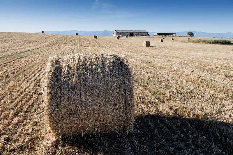Rolled crop straw in the dry field. Summer view royalty free stock image