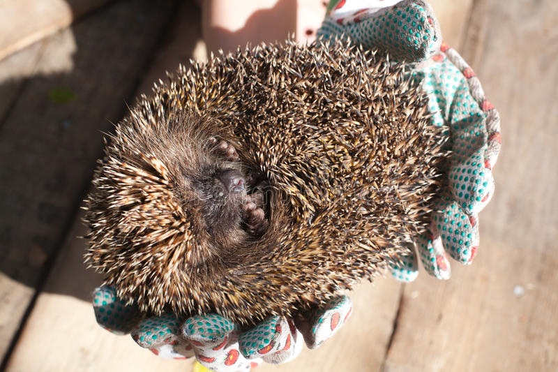 Rolled hedgehog royalty free stock photo