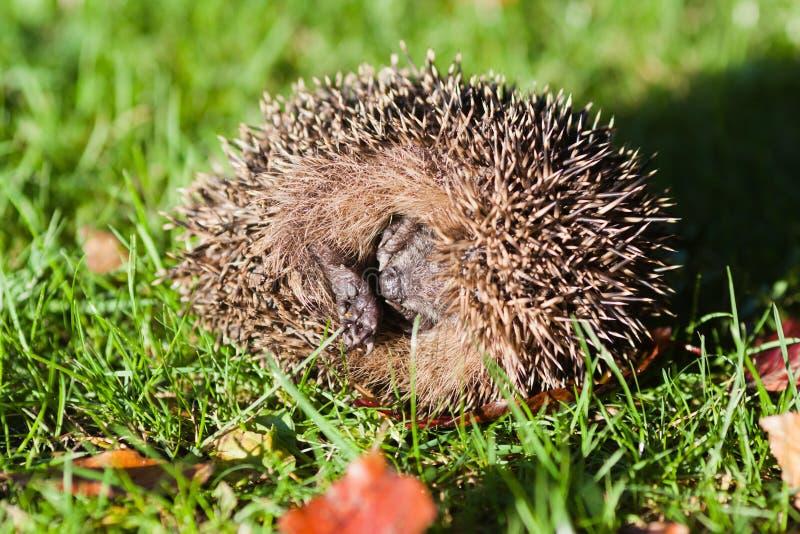 Rolled up hedgehog stock images