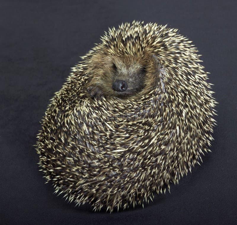 Rolled-up hedgehog in dark back stock images