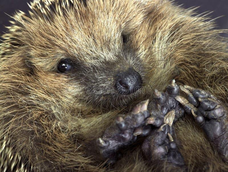 Rolled-up hedgehog portrait stock image