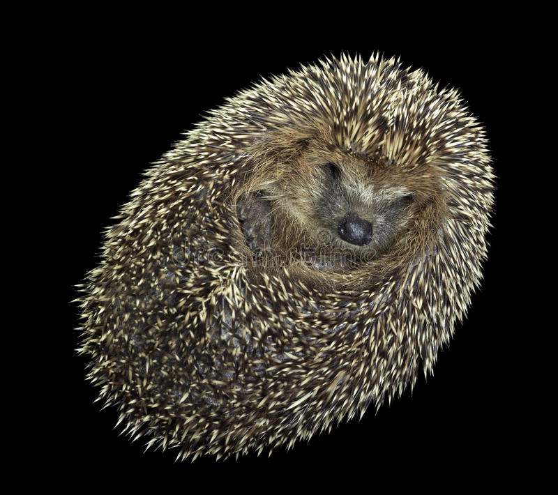 Rolled-up hedgehog portrait royalty free stock images