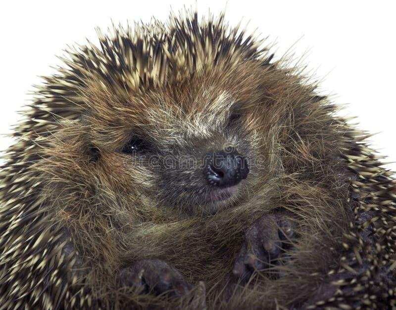 Rolled-up hedgehog portrait royalty free stock image