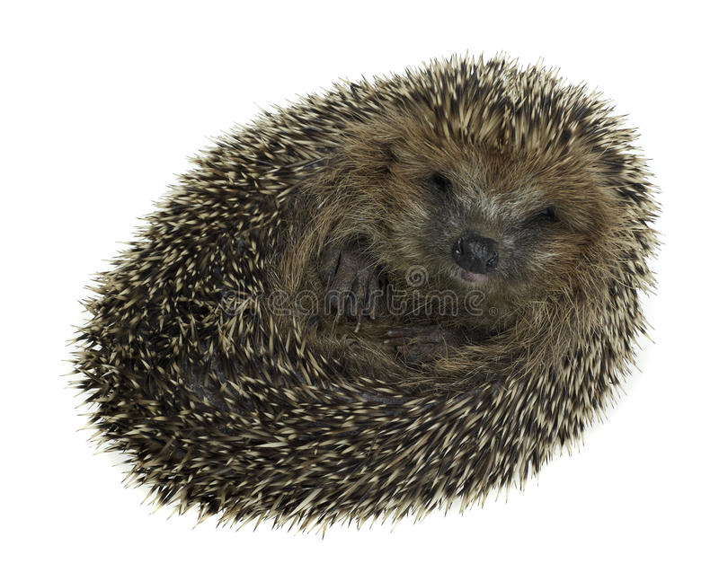 Rolled-up hedgehog in white back stock photo