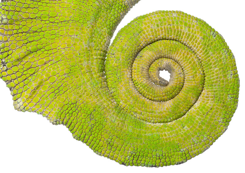 Rolled up tail of a Four-horned Chameleon