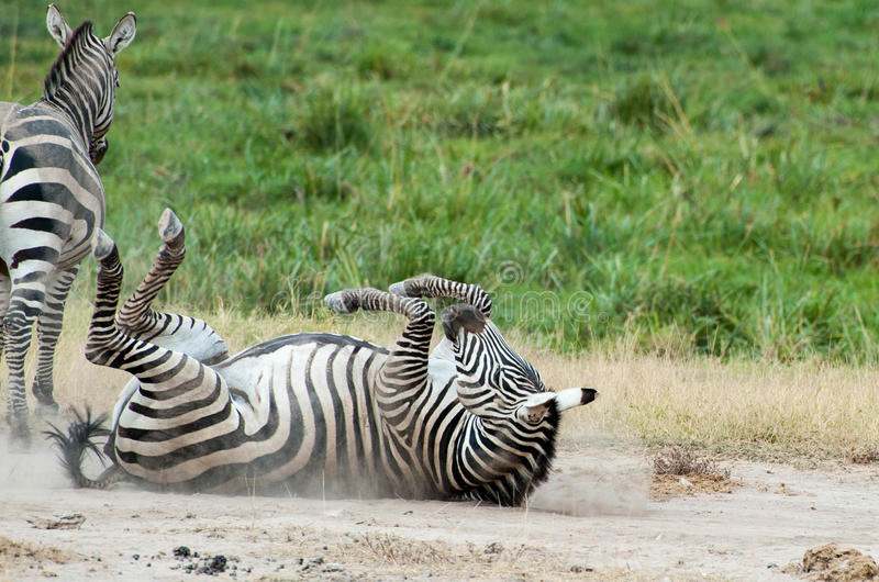 Rollen-Zebra stockfotos