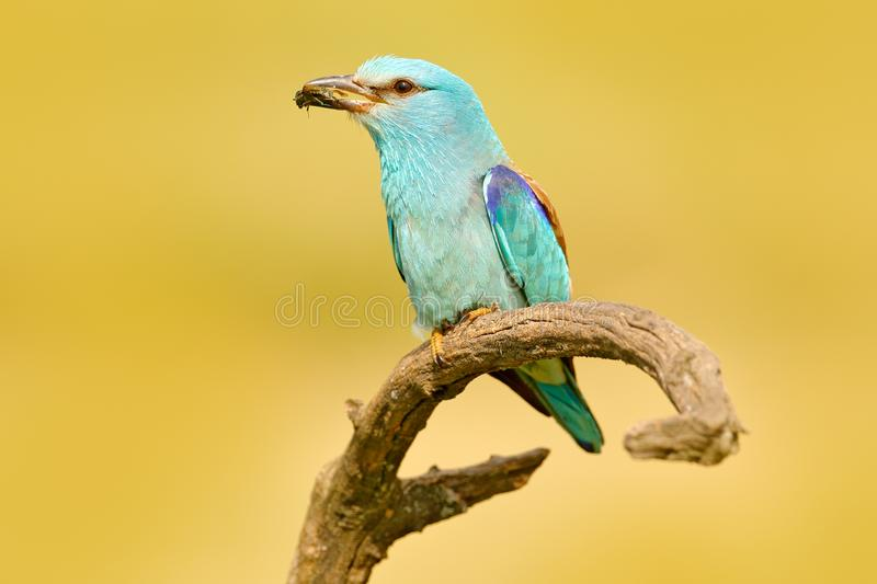 Roller with catch in nature. Birdwatching in Hungary. Nice colour light blue bird European Roller sitting on the branch with open stock photos