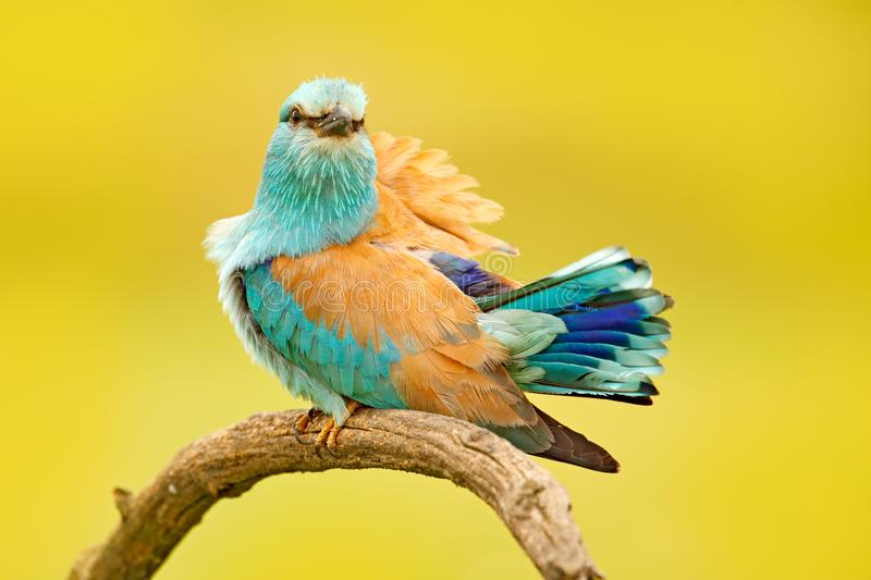 Roller with catch in nature. Birdwatching in Hungary. Nice colour light blue bird European Roller sitting on the branch with open royalty free stock photo