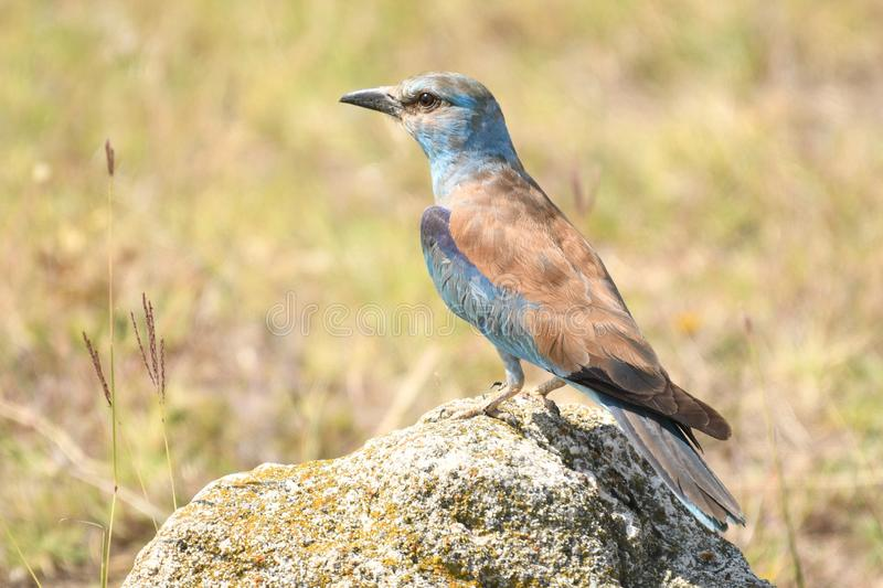 Roller Coracias garrulus. The rollers are an Old World family, Coraciidae, of near passerine birds. The group gets its name from the aerial acrobatics some of royalty free stock photography
