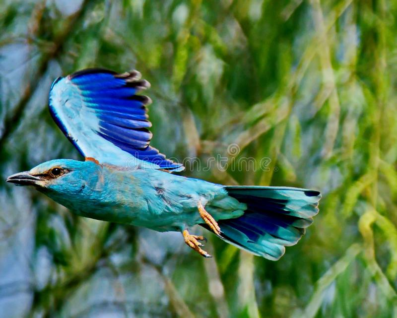 Roller Coracias garrulus. The rollers are an Old World family, Coraciidae, of near passerine birds. The group gets its name from the aerial acrobatics some of royalty free stock photos