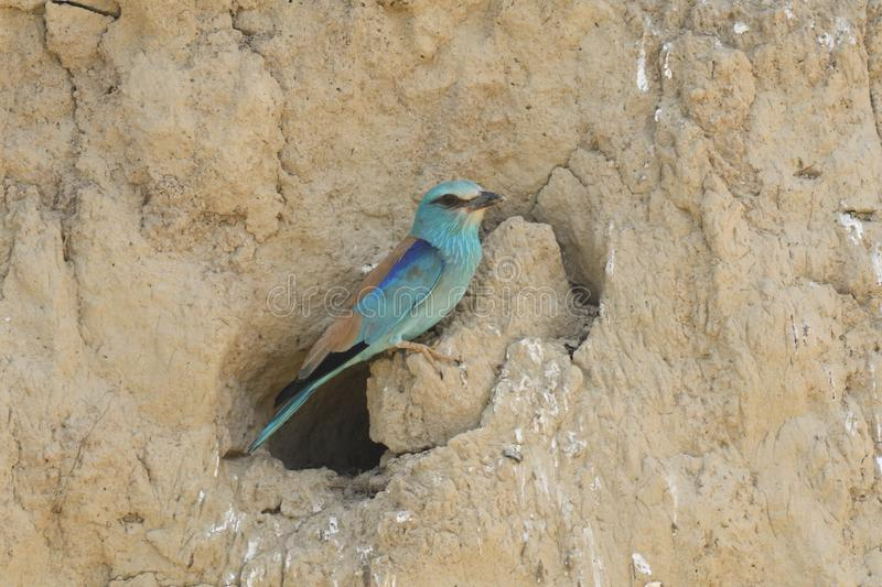 Roller Coracias garrulus. The rollers are an Old World family, Coraciidae, of near passerine birds. The group gets its name from the aerial acrobatics some of stock image
