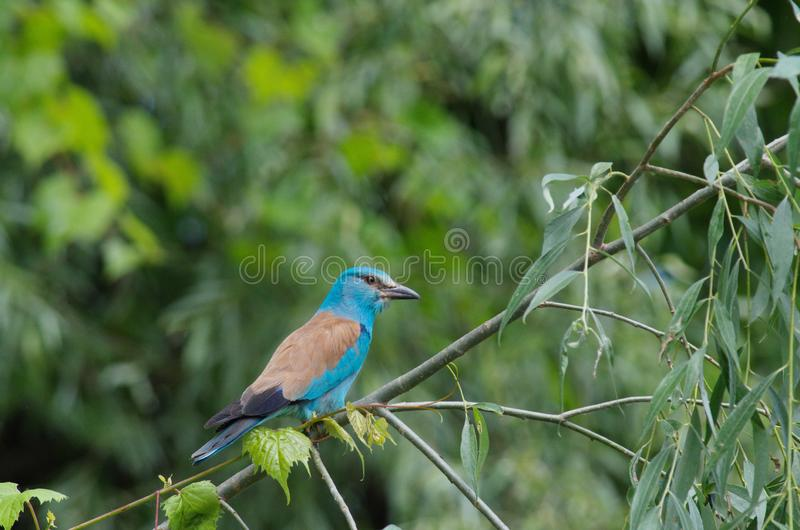 Roller Coracias garrulus. The rollers are an Old World family, Coraciidae, of near passerine birds. The group gets its name from the aerial acrobatics some of stock images