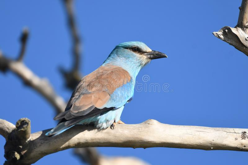 Roller Coracias garrulus. The rollers are an Old World family, Coraciidae, of near passerine birds. The group gets its name from the aerial acrobatics some of royalty free stock photo