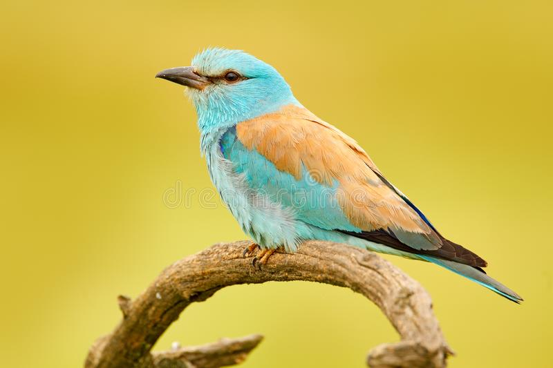 Roller in nature. Birdwatching in Hungary. Nice colour light blue bird European Roller sitting on the branch with open bill, blurr. Roller in nature stock photography