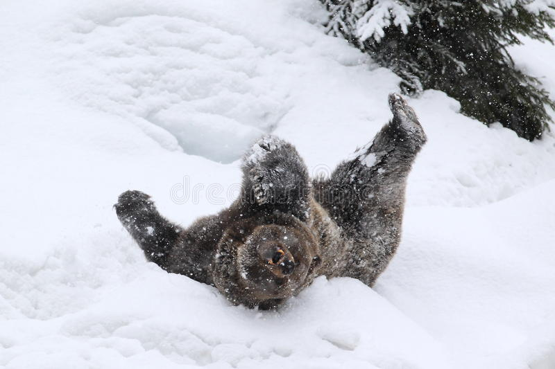 Rolling bear stock photography