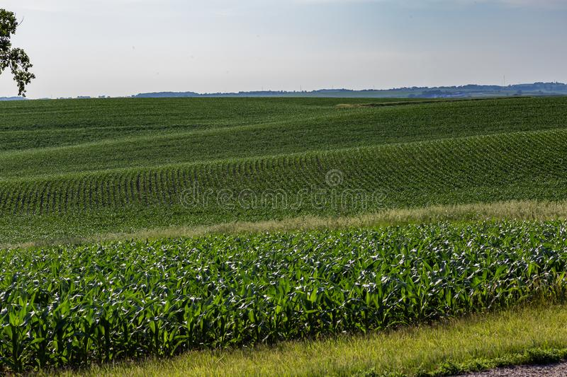 Rows of young corn plants in a large corn farm in Omaha Nebraska. Rolling field of rows of young corn plants in a large corn farm in Omaha Nebraska royalty free stock photo